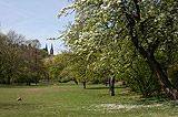 Bloomed cherry tree at Vysehrad